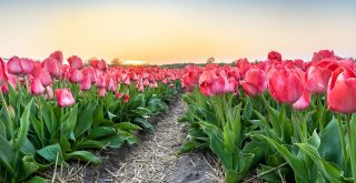 laval boucherville tulipes